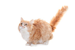 Ginger mixed breed cat on white Royalty Free Stock Image