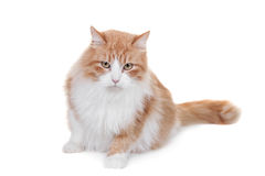 Ginger mixed breed cat on white Royalty Free Stock Photo