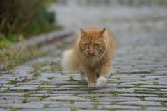 Ginger Norwegian Forest Cat stock afbeeldingen