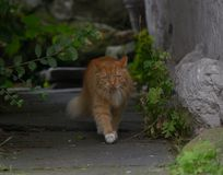Ginger Norwegian Forest Cat Stockbilder