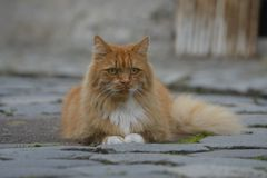 Ginger Norwegian Forest Cat Lizenzfreies Stockfoto