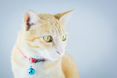 Ginger orange cat have collar and bell Stock Images
