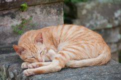 Ginger orange small cat sleeping on a stone wall fence. Of a temple Royalty Free Stock Images