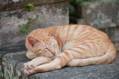 Ginger orange small cat sleeping on a stone wall fence. In a temple Stock Image