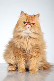 Ginger Persian cat Stock Photo