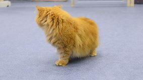 Ginger Persian cat. On a blue carpet stock video