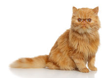 Ginger Persian cat Royalty Free Stock Images