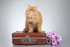 Ginger Persian cat on a suitcase Royalty Free Stock Photo