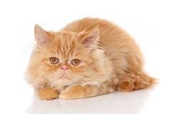 Ginger Persian cat on white background Stock Image