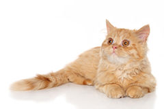 Ginger Persian kitten Stock Image