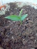 Ginger Plant Fotografering för Bildbyråer