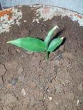 Ginger Plant Arkivfoto