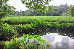 Ginger Plantation and Irrigation Pond Royalty Free Stock Image