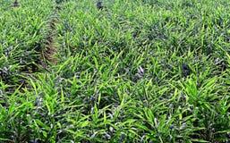 Ginger Plantation from Kerala India Stock Photography