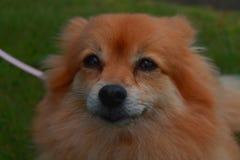 Ginger Pomeranian die omhoog van vloer kijken die geduldig wachten stock afbeeldingen