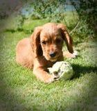 Ginger Puppy Stockbilder