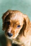 Ginger Puppy Imágenes de archivo libres de regalías