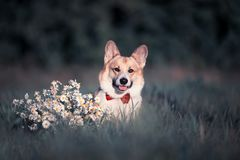 portrait of a ginger puppy dog Corgi in a bright butterfly sitting on the grass with a bouquet of white flowers daisies