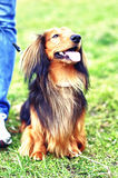Ginger red and black german badger dog. Portrait of highbred ginger red and black german badger dog on the grass Royalty Free Stock Photos