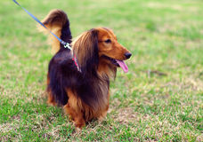 Ginger red and black german badger dog. Pretty ginger red and black german badger dog walk outside on the grass Stock Photo