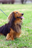 Ginger red and black german badger dog. Sits on the grass outside Royalty Free Stock Image