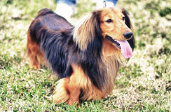 Ginger red and black german badger dog. Stands outside Stock Photography
