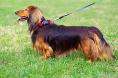 Ginger red and black german badger dog. Stands in stance outside Royalty Free Stock Photography