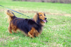 Ginger red and black german badger dog. Takes stance on the grass Royalty Free Stock Photo