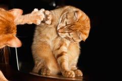 Ginger Red Cat com o espelho imagens de stock