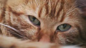 Ginger Red Cat Falls Asleep banque de vidéos