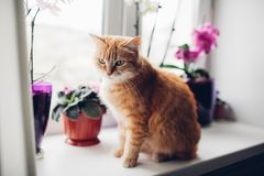 Ginger red cat sitting on the windowsill near the orchid royalty free stock photo