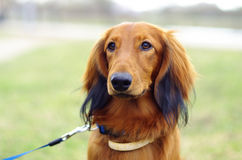 Ginger red german badger dog. Portrait of ginger red german badger dog on the grass Stock Images