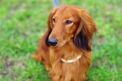 Ginger red german badger dog. Portrait of highbreed german badger dog on the grass Royalty Free Stock Image
