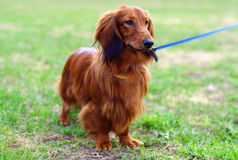 Ginger red german badger dog stands outside Royalty Free Stock Image