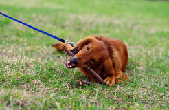 Ginger red german badger dog on the walk. Ginger red german badger dog lies on the grass and chews a stick Royalty Free Stock Photo