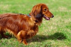 Ginger red german badger dog. Walks outside Stock Images