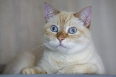 Ginger Red Pastel Short Hair doméstico bonito Gray Eyes Cat Looking Straight azul para a câmera Imagens de Stock Royalty Free