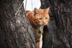 Free Ginger Red Tabby Cat In A Tree With Long White Whiskers Up In A Tree. Royalty Free Stock Images - 124389609