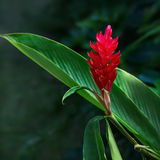 Ginger red tropical flower plant square composition Stock Image