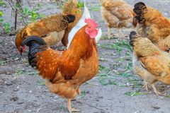 Ginger rooster with chickens walking in outdoors. And chicken poultry farming stock photos