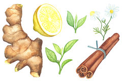 Ginger root, lemon cut, chamomile, cinnamon watercolor painting on white background. Green tea leaf and tea spices handdrawn illustration. Ginger root, lemon Stock Images
