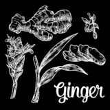 Ginger. Root, root cutting, leaves, flower buds, stems. Vintage retro vector illustration. For herbs and spices set royalty free illustration