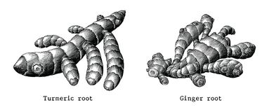 Ginger root and Turmeric root botanical hand draw vintage clip a. Rt isolated on white background stock illustration