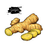 Ginger root vector hand drawn illustration.  Root and sliced pie Stock Image