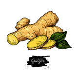 Ginger root vector hand drawn illustration.  Root and sliced pie. Ces . Artistic style colorful flavor drawing. Herbal spice. Detox food ingredient Royalty Free Stock Photo