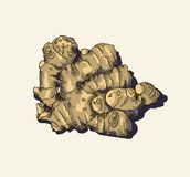 Ginger root. Vector. Stock Images