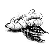 Ginger roots. Ink black and white illustration of a ginger roots Royalty Free Stock Photos