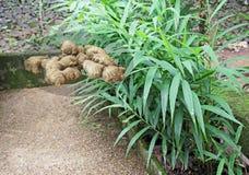 Ginger Roots y plantas orgánicos Imagen de archivo