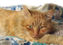 Ginger sad cat with yellow eyes. Lies ginger sad cat with yellow eyes Royalty Free Stock Image