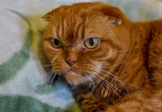 Ginger Scottish Fold Cat Royalty-vrije Stock Foto's
